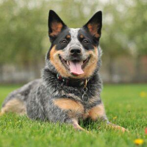 Medium breed 10-25 kg