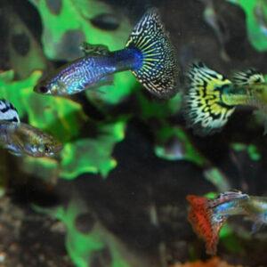 Fiskar, froskar og rækjur