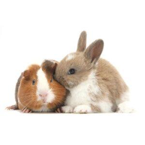 Kanin og marsvín